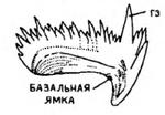 Листовидный конодонт