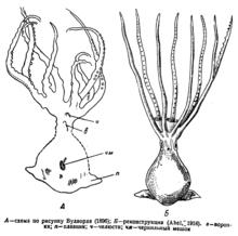 Палеоктопус