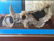 Centrosaurus skull 05
