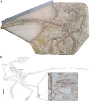 Microraptor hanqingi holotype LVH 0026; scaled ruler equals approximately 50 cm