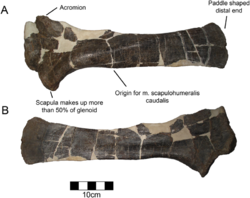 Yehuecauhceratops-4