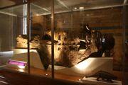 Scolosaurus NHMUK R5161