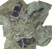 Anchiornis fossil 01