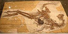 220px-Caudipteryx fossil