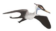 0Aerodactylus MCZ 1505