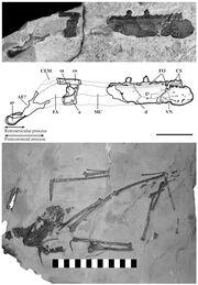 1Caviramus fossils