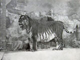 Закавказский тигр