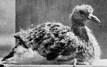 Файл Young passenger pigeon