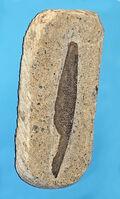 Hybodontidae - Asteracanthus ornatissimus
