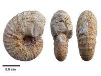 Pachydiscus (P.) neubergicus Мадагаскар