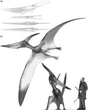 Reconstruction of the Pteranodon