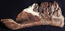 Aquilarhinus 2