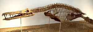 Mounted skeleton of Liopleurodon ferox in the Tubingen Museum, Germany .