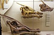 Saurolophus skull 03