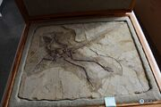 Anchiornis fossil 03