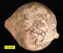 Echinosphaerites aurantium