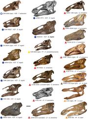 Edmontosaurus specimen