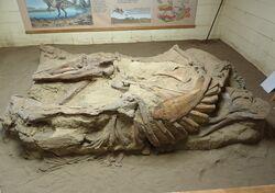 Corythosaurus fossil