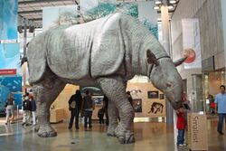 Indricotherium at the California Academy of Sciences