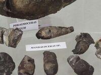 Мандалоцерас 5