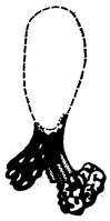 Археолинтус сибирикус