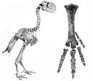 Diatryma-skeleton-and-foot-bones-amnh-6169