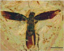 Santanmantis-axelrodi-Grimaldi-2003-SMNS-66677