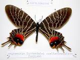 Bhutanitis lidderdalii ocellatomaculata
