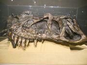 Ceratosaurus skull 01