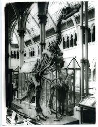 MuseumNaturalHistory Iguanodon 1930