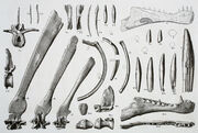 Spinosaurus aegyptiacus holotype (Stromer,1915)