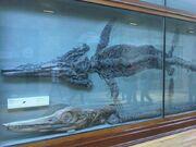 Temnodontosaurus platyodon at the Natural History Museum in London