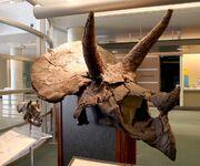 Triceratops skull 03