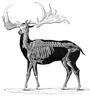 Скелет ирландского лося