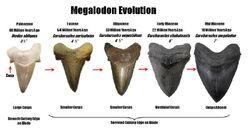 Evolution megalodon