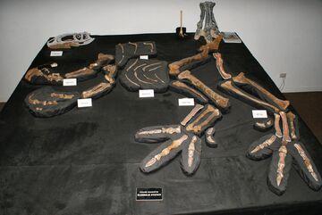 Australovenator fossil