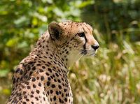 Cheetah4