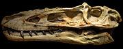Alioramus skull 02
