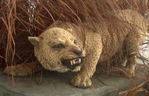 Занзибарский леопард 2