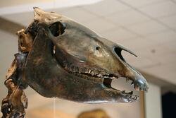 Западная лошадь череп