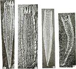 275px-Takakkawia lineata fossils