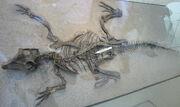 Psittacosaurus AMNH 6253