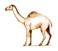 Западный верблюд