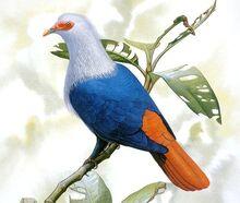 Маврикийский голубь2