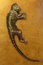 Darwinius masillae at Göteborgs Naturhistoriska Museum 8864