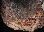 Epidexipteryx fossil