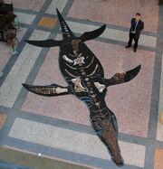 Pliosaurus carpenteri Bristol City Museum