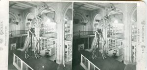In the late 1870s, copy of Hadrosaurus foulkii was acquired by the Smithsonian Institution