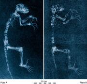 800px-Darwinius radiographs