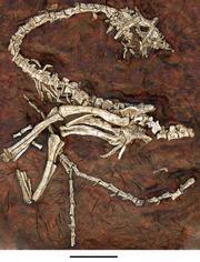 Eodromaeus fossil skeleton